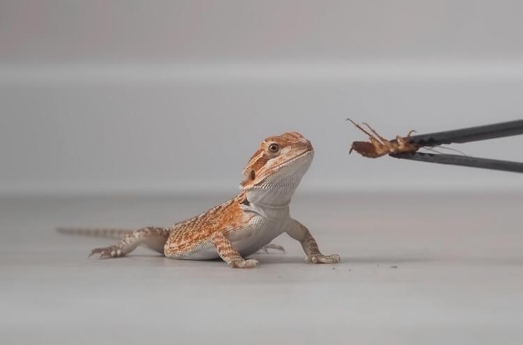 Feeding a cockroach to a baby bearded dragon