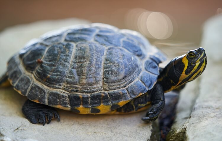 Female Yellow-Bellied Slider