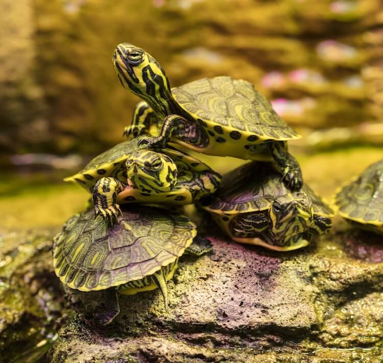 Four Hatchling Yellow-Bellied Sliders On Top Of One Another