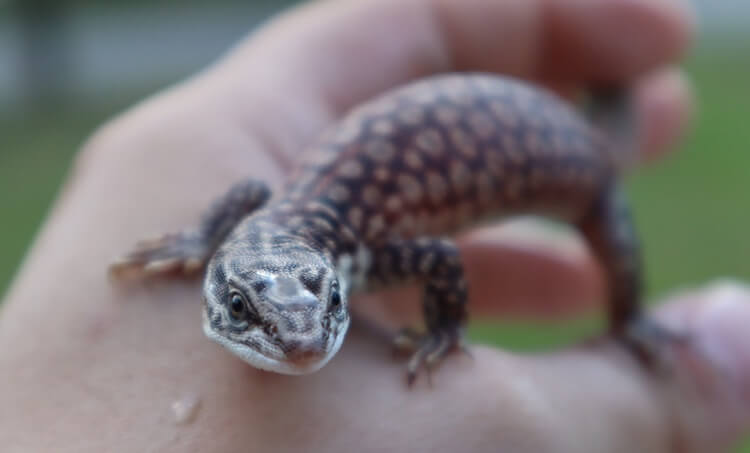 Handling a baby Ackie Monitor
