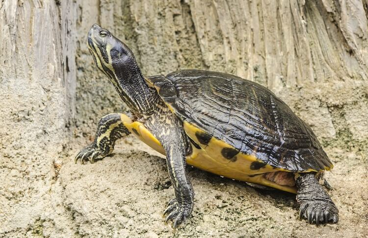 Male Yellow-Bellied Slider