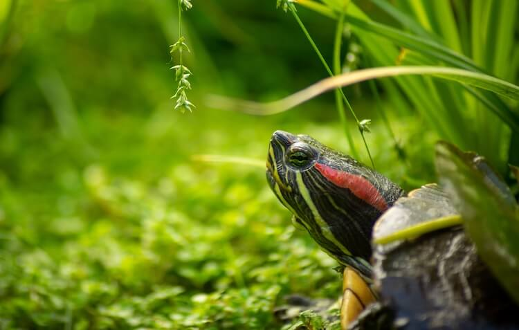 Red-Eared Slider Close Up