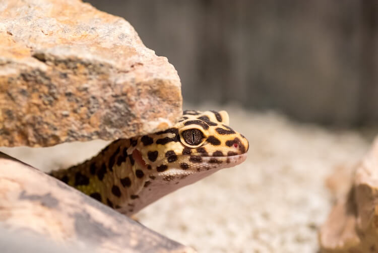 A gecko looking out from under a rock