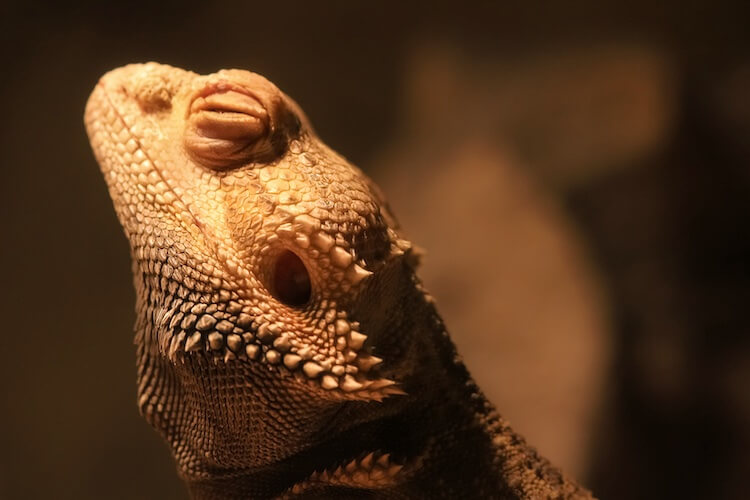 Bearded Dragon Brumation