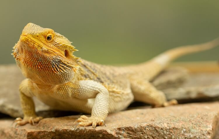 Common Bearded Dragon