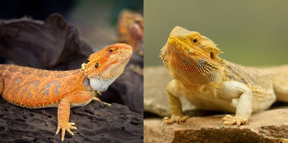 Fancy Bearded Dragon vs. Regular Bearded Dragon
