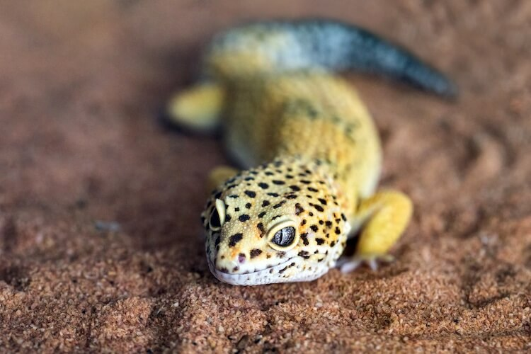 How Long Do Leopard Geckos Live?