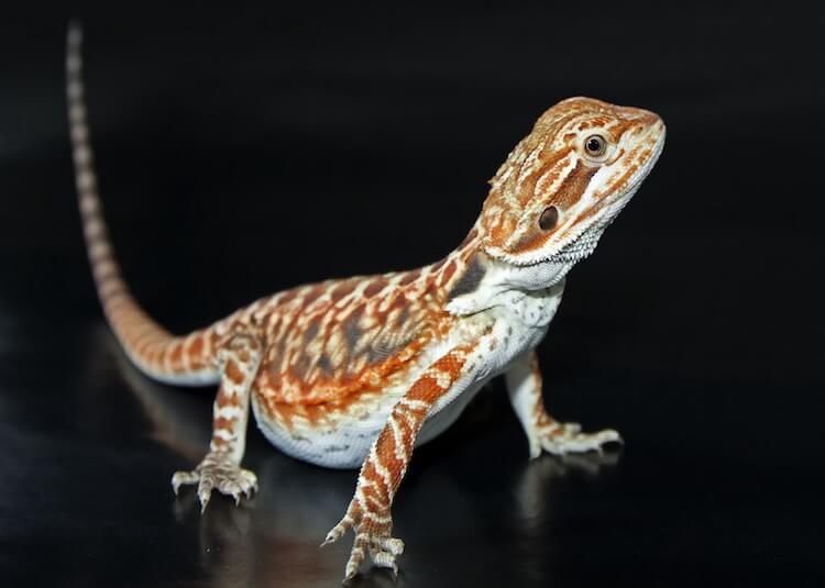 Leatherback bearded dragon morph