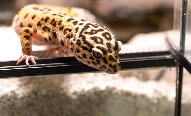 Leopard Gecko climbing out of a tank