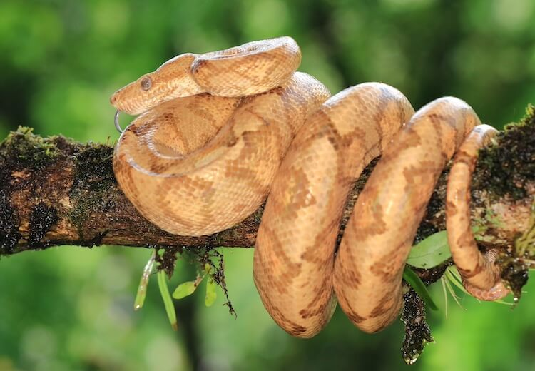 Orange and Brown Mottled Amazon Tree Boa
