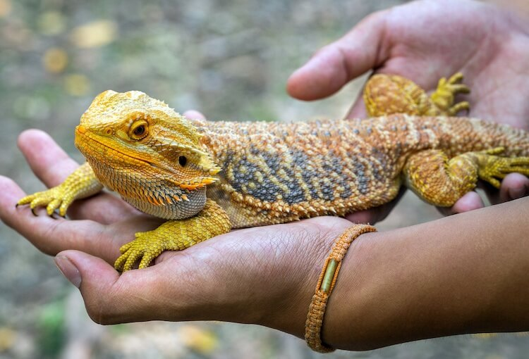 Yellow Fancy Bearded Dragon