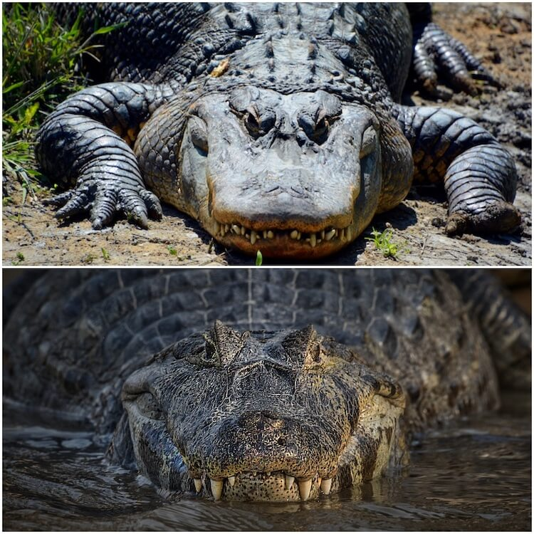 Alligator vs Crocodile
