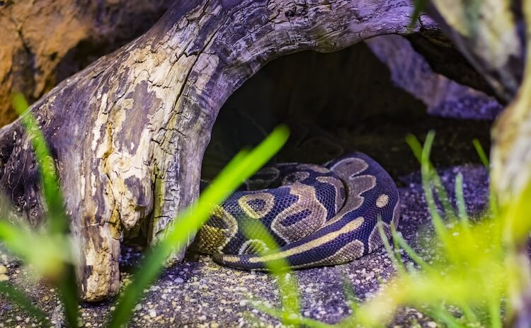 Ball python in its hide