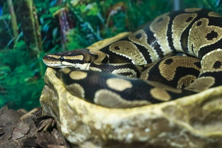 Ball python sitting in water bowl