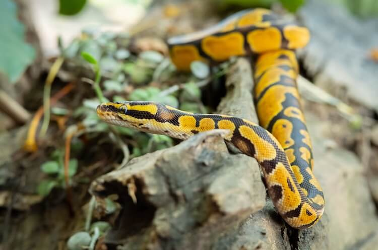 Ball python sitting on a log with plants in the background