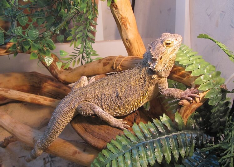 Bearded Dragon in a Reptile Terrarium
