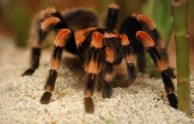 Pet Mexican Red-Knee Spider