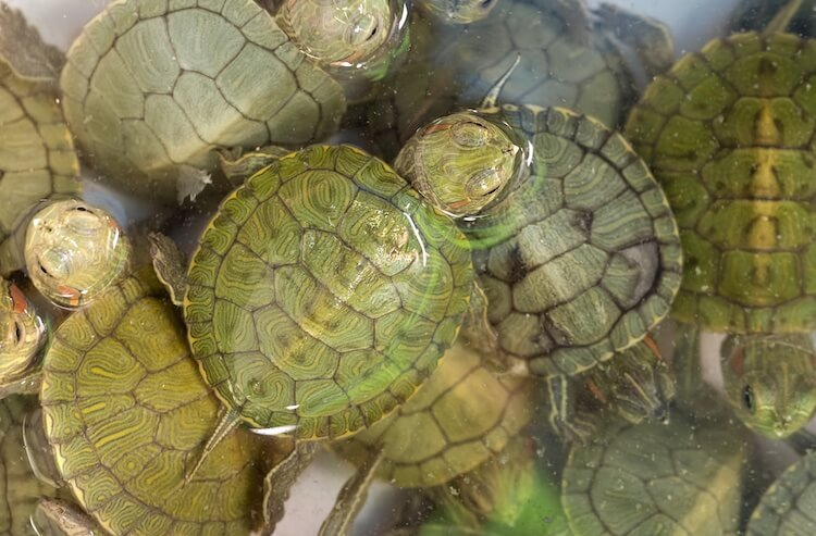 Baby Red Eared Sliders Swimming