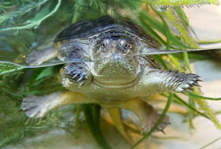 Snapping turtle looking out of an aquarium