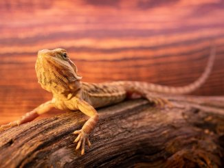 Bearded Dragon Breeders Features