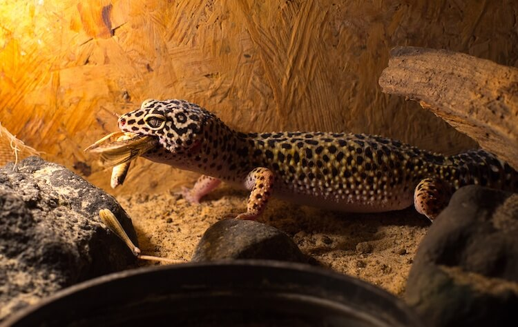 Leopard gecko eating an insect
