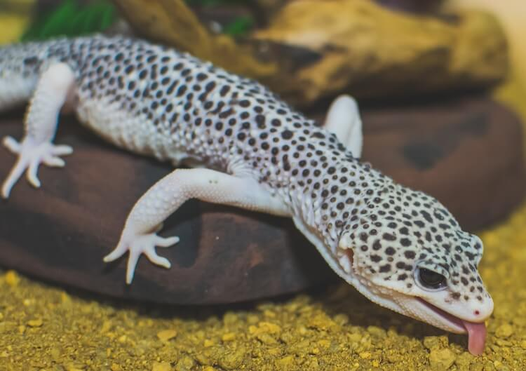 Leopard gecko eating substrate