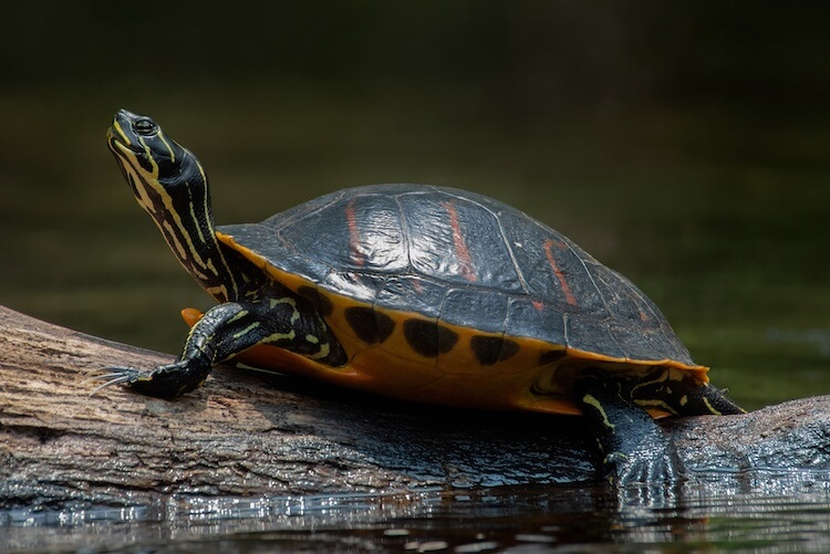 Red Belly Turtle Shell