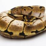 Young python