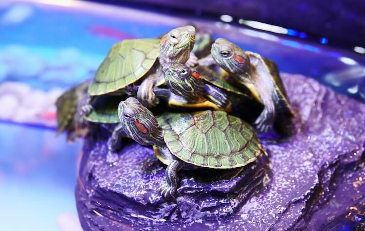 Baby Red-Eared Sliders