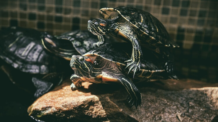 Male and Female Red-Eared Slider