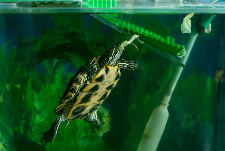Red-eared slider eating cabbage