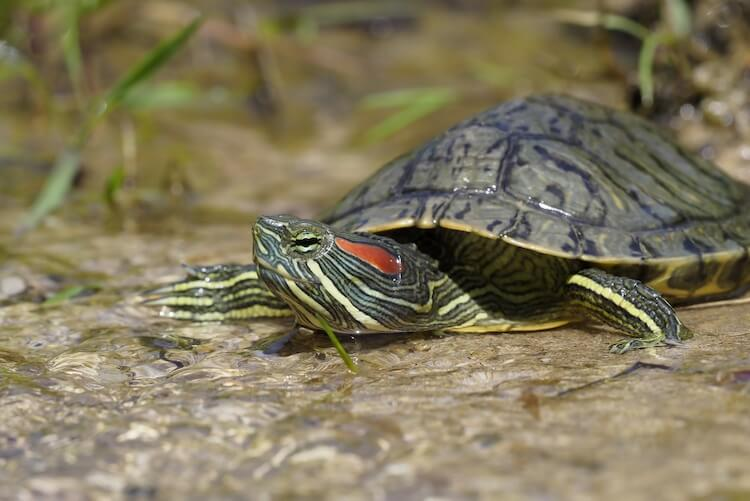 What Do Red-Eared Sliders Eat