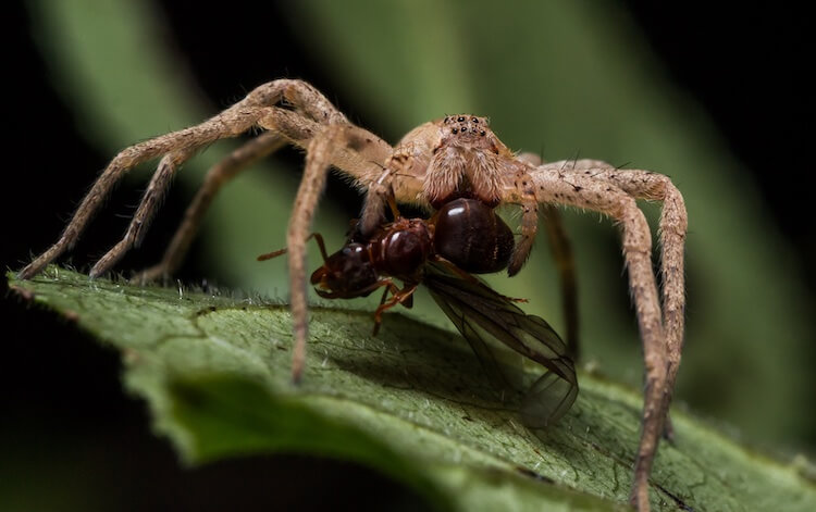 Wolf Spider Eating