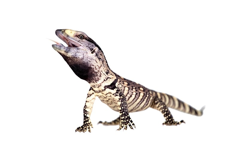 baby black throated monitor with its mouth open