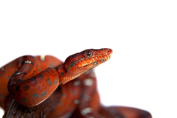 baby emerald tree boa looking out