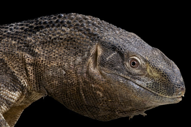black throated monitor close up